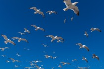 seagulls_4-wallpaper-1152x864